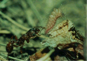 Dia 1 Ant and Caterpillar symbiosis